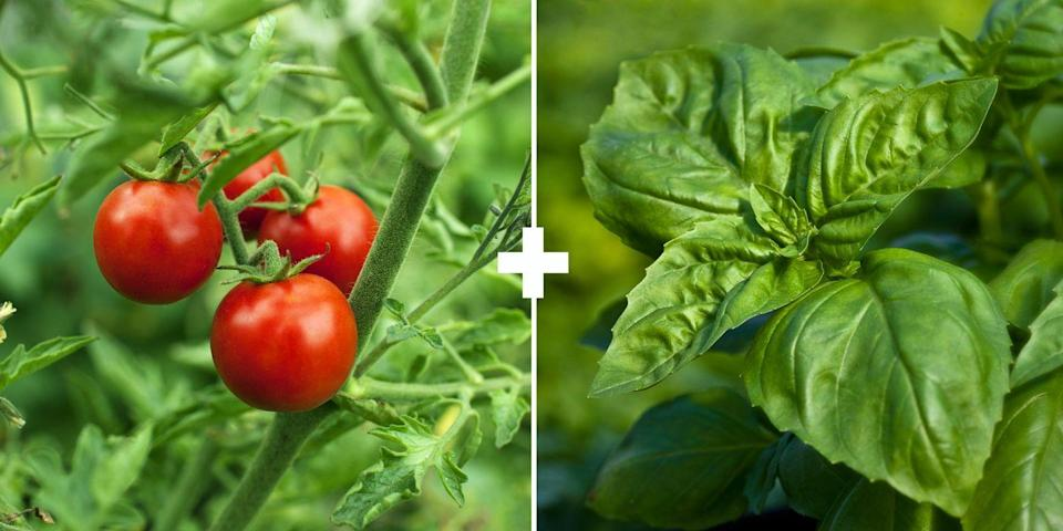 <p><span>Some gardeners believe basil improves the flavor of tomatoes, but it's primarily planted because its strong scent may repel pests. Plus, if you let some of your basil or cilantro go to flower, it brings in the pollinators, says Stross. </span><br></p>