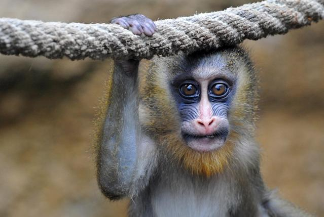 """A young Mandrill named """"Tacari"""" is seen in its enclosure at the zoo in Dresden, eastern Germany on May 22, 2013."""