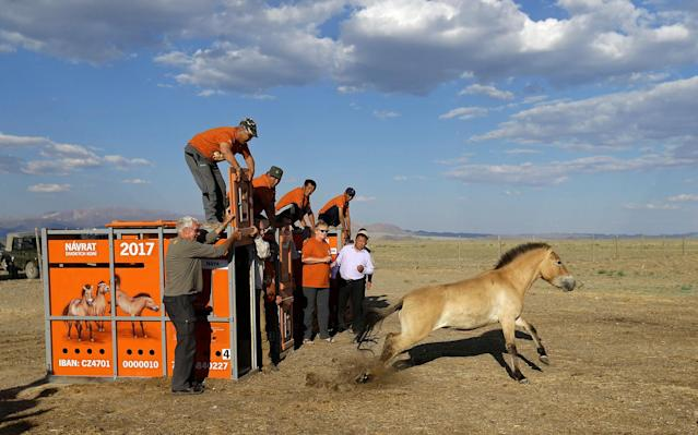 <p>A Przewalski's horse leaves its container after being released in Takhin Tal National Park, part of the Great Gobi B Strictly Protected Area, in south-west Mongolia, June 20, 2017. (Photo: David W. Cerny/Reuters) </p>