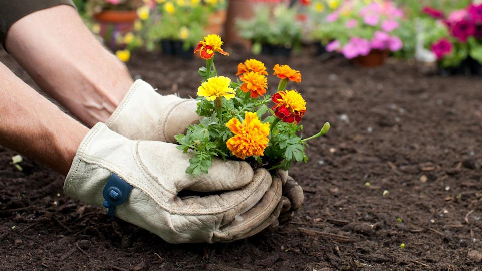 Man gardening holding Marigold flowers in his hands with copy space.