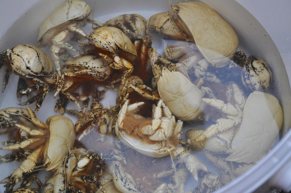Crabs in a bucket. Photo: WikiCommons/Elpipster