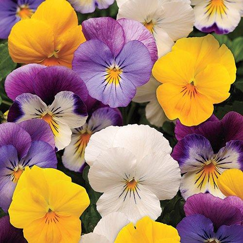 <p>Sick of pansies that turn to mush with the first fall freeze and don't bloom again until spring? Plant Plentifall pansies instead. These are among the first trailing pansies, each spreading 18 inches. Plant them in the ground to form solid sweeps, or let them cascade from containers. Plentifall pansies survive below-zero temps with little damage, so they should bloom for you from fall through spring.</p>