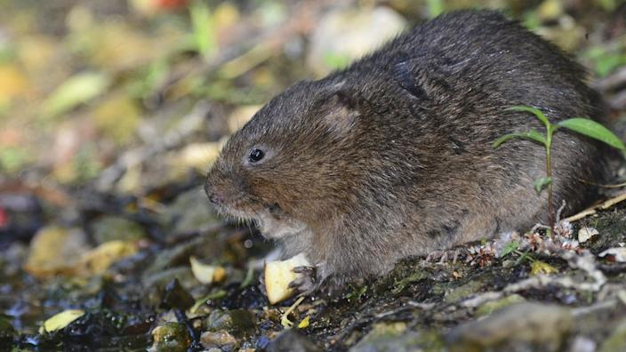 The water vole is under serious threat from habitat loss and predation