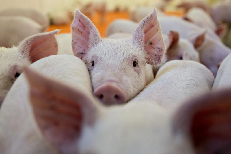 China'sHog Scourge Helps the U.S. as Long as ItAvoids Contagion