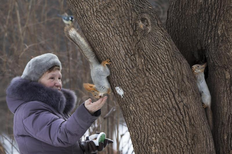 """In this photo taken on Monday, Feb. 3, 2014, squirrels accept food from a woman in Moscow's """"Neskuchny Sad"""" park in Moscow, Russia. One by one, the bushy-tailed residents of Moscow's parks have been disappearing. The problem: Russians have gone nuts for squirrels. City official Alexei Gorelov told the Associated Press on Wednesday that he has received multiple reports of squirrel poaching in local parks. In response, municipal authorities on Jan. 31 ordered bolstered security for all of Moscow's green areas. (AP Photo/Alexander Zemlianichenko)"""