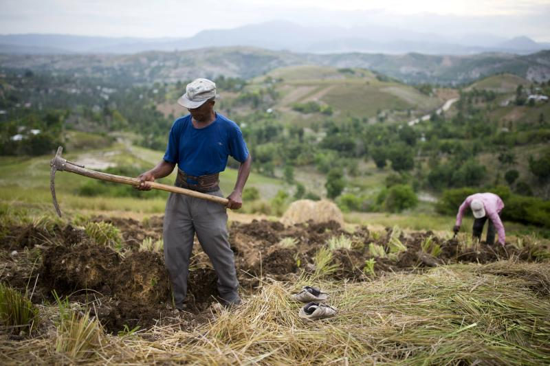 """In this May 27, 2019 photo, Thomas Absolue, 64, harvests vetiver roots, used to produce an essential oil used in fine perfumes, on a farm in Les Cayes, Haiti.  Absolue used to harvest sugarcane in the Dominican Republic before returning to Haiti in 1982, lured by the essential oil. """"Vetiver gave me everything I have: house, school for kids, food for my family,"""" he said. """"As long as I'm alive, I'll work in vetiver fields. It's what saves us."""" (AP Photo/Dieu Nalio Chery)"""