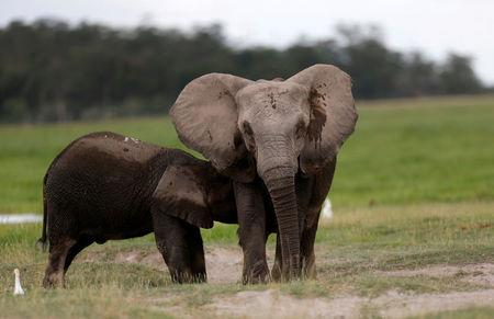 An elephant breastfeeds its young one at the Amboseli National Park, southeast of Kenya's capital Nairobi