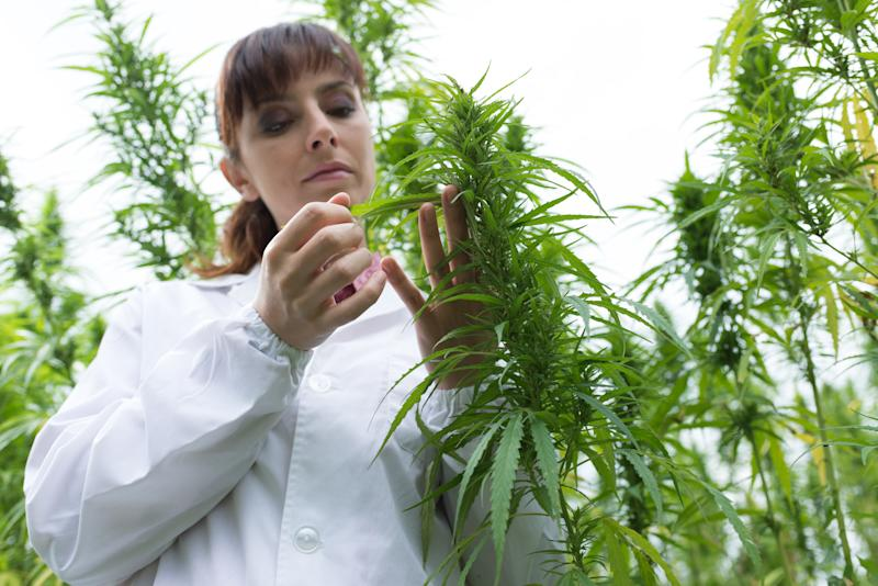 A woman trims a marijuana plant.