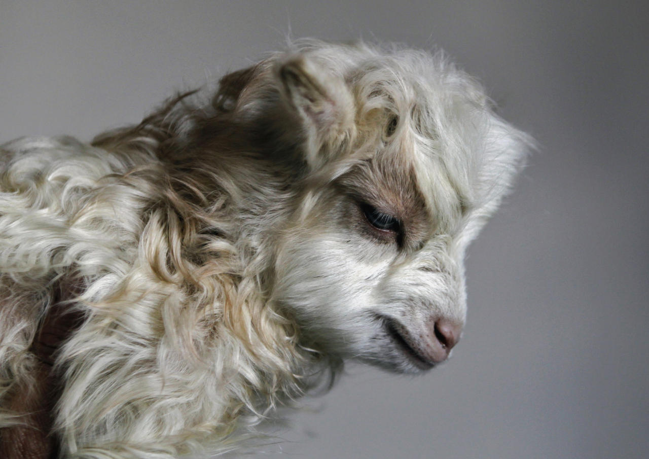 Noori, a cloned Pashmina goat, is seen at the Faculty of Veterinary Sciences and Animal Husbandry of Sher-e-Kashmir University of Agricultural Sciences and Technology (SKUAST), in Shuhama, 25 km (16 miles) east of Srinagar March 15, 2012. Noori who weighed 1.3 kg (2.9 lb) at birth on March 9, 2012 is the world's first cloned Pashmina goat and is doing well so far, said Doctor Riaz Ahmad Shah, who heads the project at SKUAST. Pashmina goats, which grow a thick warm fleece, survive on grass in Ladakh where temperatures plunge to as low as minus 20 degrees Celsius (minus 4 degrees Fahrenheit).