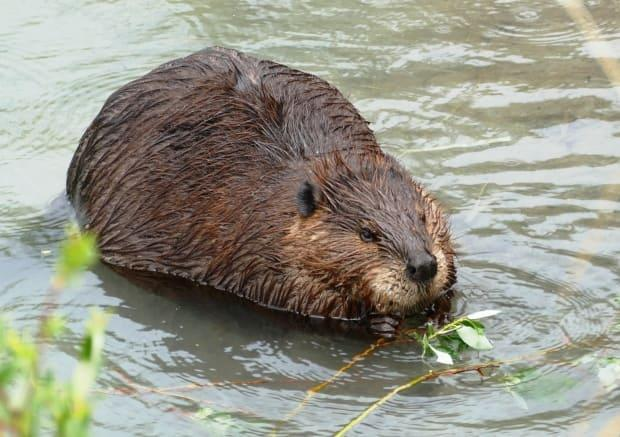 A beaver chewed through fibre cable at multiple points, causing the internet to go down on Saturday and affecting service to Telus customers in Tumbler Ridge, B.C. The company said service had been fully restored by Sunday afternoon. (Diane Stinson - image credit)