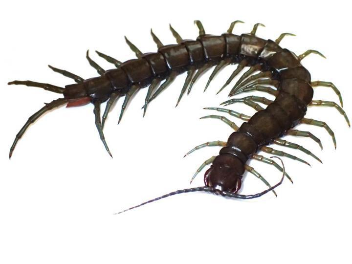 <p>News first reached researchers of an unidentified centipede attacking fresh water prawns in the forests of the biodiverse Ryukyu Archipelago</p> (Tokyo Metropolitan University)