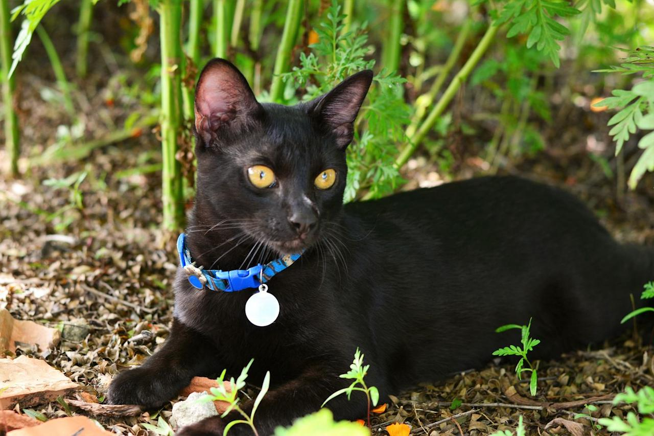 """<p>Though Cat Fanciers' Association notes that  <a href=""""http://cfa.org/breeds/breedscj/japanesebobtail.aspx"""" target=""""_blank"""">most Japanese bobtails are van-colored or bi-colored</a> rather than solid-colored, this breed comes in a variety of colors, including a lovely shade of black. This medium-sized cat is playful, affectionate, and a great fit for families. </p>"""
