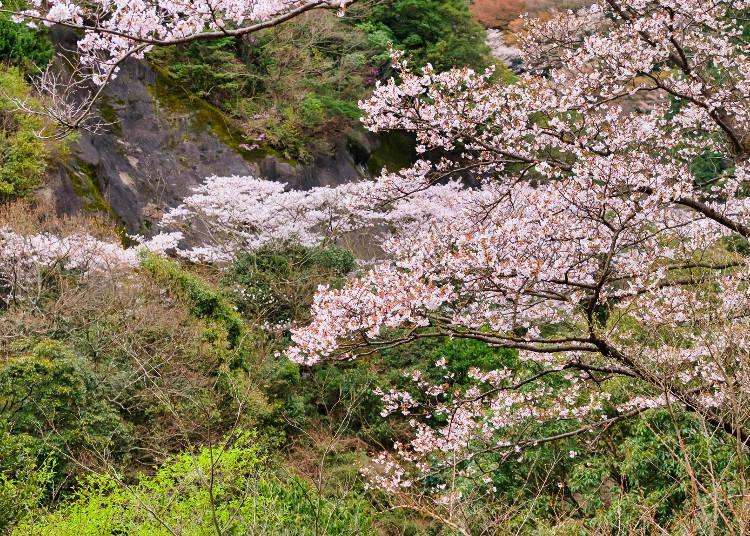 The cohesion of natural beauty around the dam and the spectacular sight of the cherry blossoms