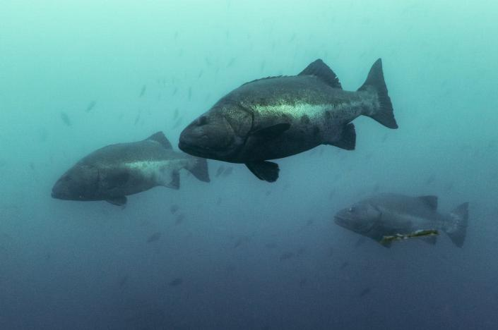 """<span class=""""caption"""">Giant sea bass are listed as a critically endangered species. </span> <span class=""""attribution""""><span class=""""source"""">Maru Brito</span>, <a class=""""link rapid-noclick-resp"""" href=""""http://creativecommons.org/licenses/by-nd/4.0/"""" rel=""""nofollow noopener"""" target=""""_blank"""" data-ylk=""""slk:CC BY-ND"""">CC BY-ND</a></span>"""