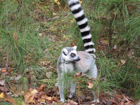 Ring-tailed lemurs emerge from the forest at the Duke Lemur Center. Lemurs trained to come at a trainer's signal are able to roam the fenced-in grounds freely.