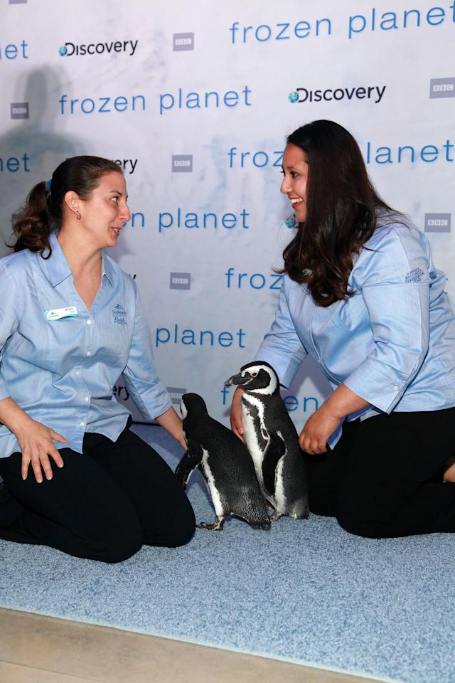 "NEW YORK, NY - MARCH 08:  SeaWorld penguins Pete and Penny attend the ""Frozen Planet"" premiere at Alice Tully Hall, Lincoln Center on March 8, 2012 in New York City.  (Photo by Astrid Stawiarz/Getty Images)"