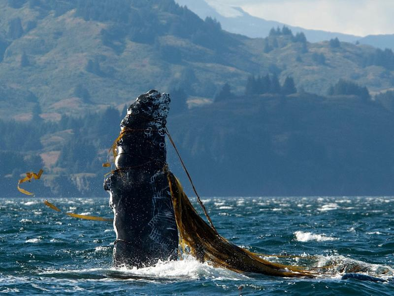 Over 50 humpback whales were entangled off the west coast of the US in 2015 and again in 2016, according to the NOAA: Getty
