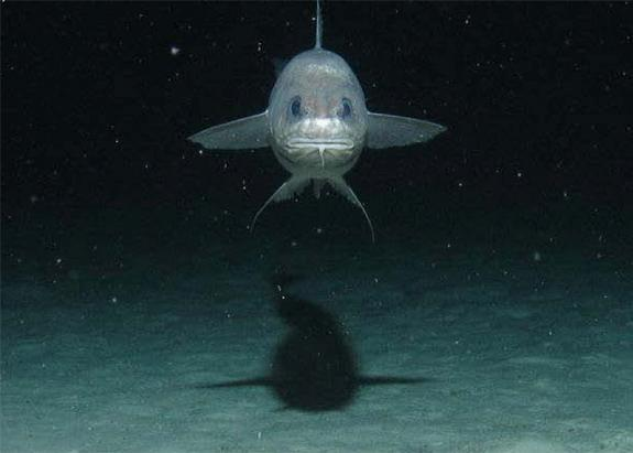 A fish investigating a baited camera on the Atlantic's deep seafloor.