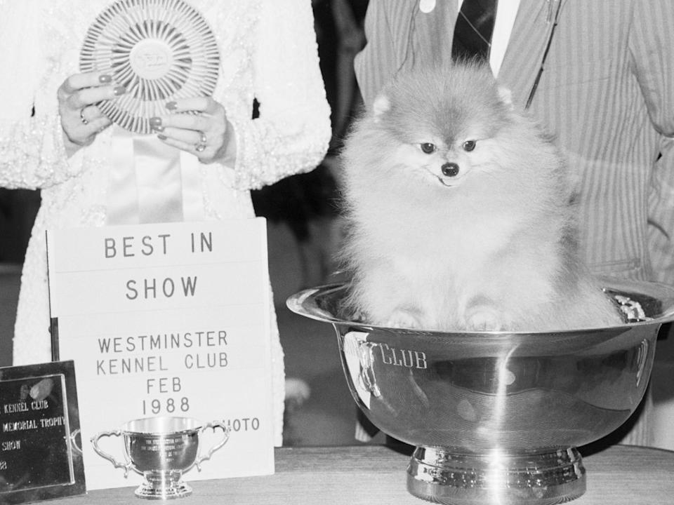 Prince Charming II was the first Pomeranian to win Best in Show in 1988.