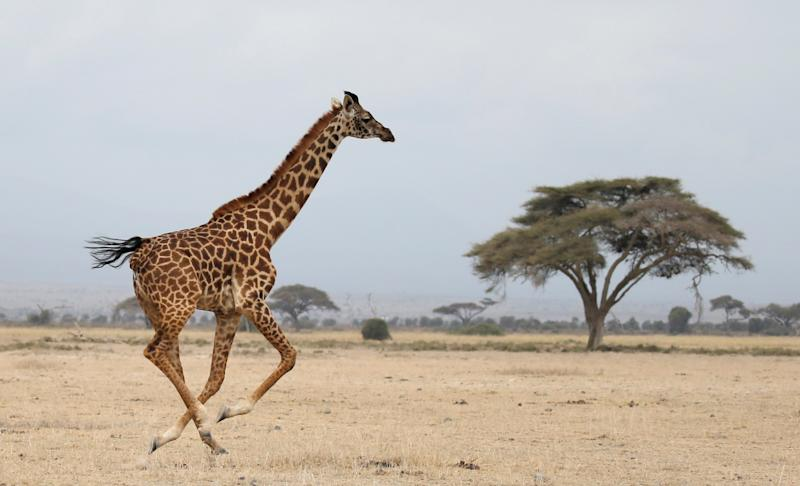 A giraffe runs in Amboseli National park, Kenya August 26, 2016. REUTERS/Goran Tomasevic