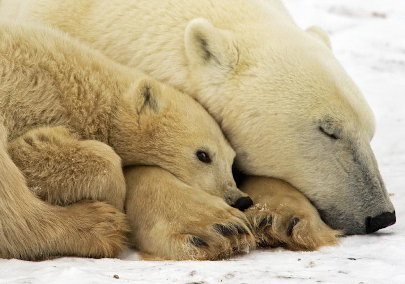 Polar bears look set to see their numbers dwindle 30 percent by 2050, as climate change forces a sharp decrease in their natural habitat (AFP Photo/Paul J. Richards)