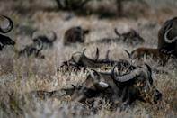 African buffalos rest in the Lewa Wildlife Conservancy