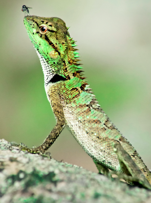 <p>This Thai lizard with a fly on its nose was highly commended in the contest. (Pic: Mathieu Bouard/SWNS) </p>