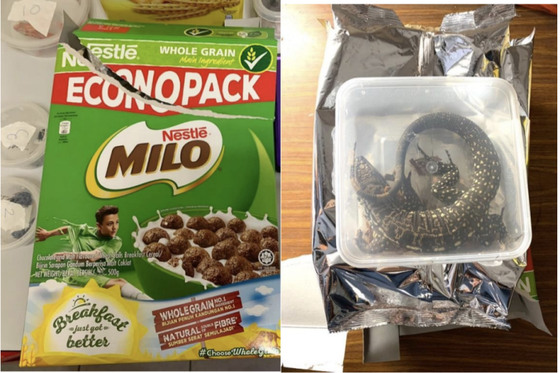Photo of an Argentine Black and White Tegu concealed inside Milo cereal box. (Photo: NParks)