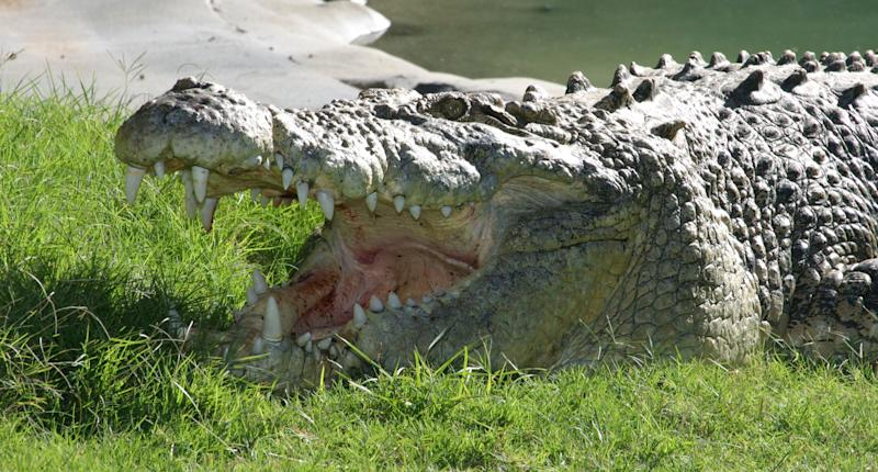 A man has been attacked by a crocodile near the Cape York Peninsula. Pictured is a stock image of a saltwater crocodile.