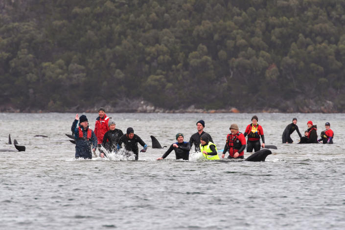 Members of a rescue crew stand with a whales on a sand bar near Strahan, Australia, Tuesday, Sept. 22, 2020. Around one third of an estimated 270 pilot whales that became stranded on Australia's island state of Tasmania had died as rescuers managed to return 25 to the sea in an ongoing operation. (Brodie Weeding/Pool Photo via AP)