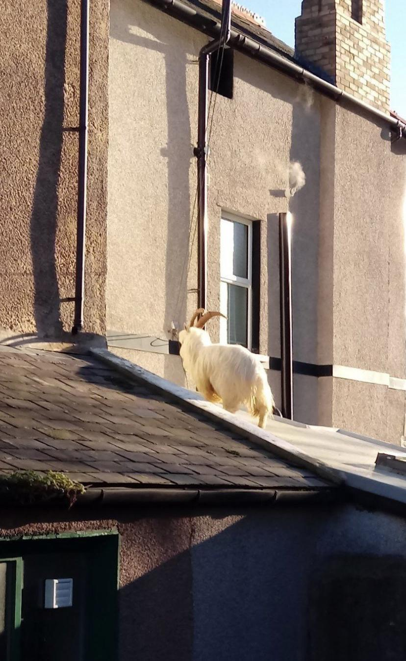 A goat climbing on roofs in the sleepy Welsh town. (Wales News)