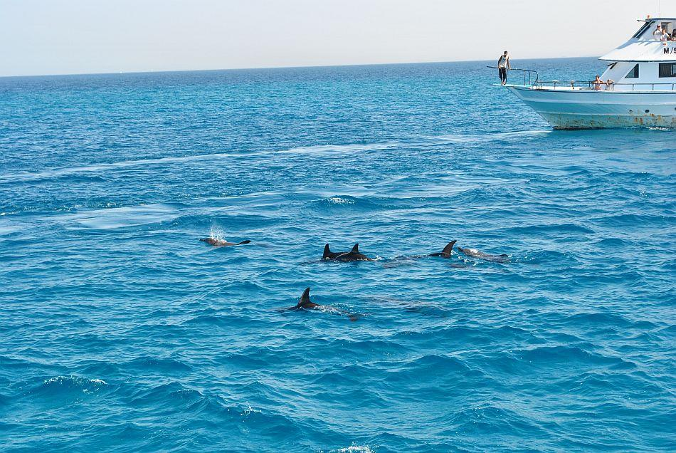 Playful dolphins swimming along with diving boats in the Red Sea