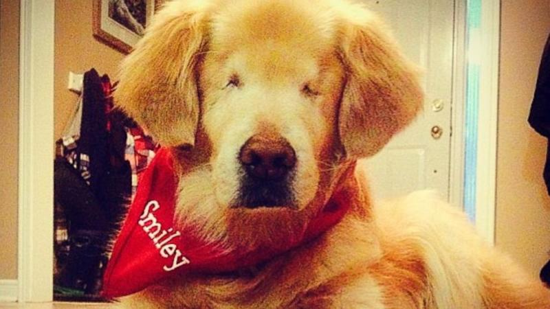 Blind Golden Retriever 'Smiley' Warms Hearts as Therapy Dog