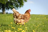 "<p>With chicken coops popping up in backyards everywhere, it seems everyone is going crazy for chickens. Considering adding chickens to your own yard? Start with our guide to <a href=""https://www.countryliving.com/life/kids-pets/a32102474/raising-chickens/"" rel=""nofollow noopener"" target=""_blank"" data-ylk=""slk:raising chickens"" class=""link rapid-noclick-resp"">raising chickens</a>. If you have a passionate chicken lover in your life, then you know that love goes way beyond a backyard hobby. So the next time you're searching for just the right gift, look no further than these fine-feathered ideas for inspiration. These fun chicken-themed finds make the perfect gifts for Christmas or for birthdays, or better yet, just as a thoughtful just-because. No matter the occasion, treat your chicken lover with special chicken-adorned jewelry, cute egg holders, or even books to boost their chicken keeping know-how. </p><p>We have their beloved chickens covered, too, with treats and <a href=""https://www.countryliving.com/diy-crafts/g2452/diy-chicken-coops/"" rel=""nofollow noopener"" target=""_blank"" data-ylk=""slk:chicken coop"" class=""link rapid-noclick-resp"">chicken coop</a> accessories, chicken clothes and jewelry (including <a href=""https://www.countryliving.com/shopping/a28482234/chicken-sweaters-etsy/"" rel=""nofollow noopener"" target=""_blank"" data-ylk=""slk:sweaters for chickens"" class=""link rapid-noclick-resp"">sweaters for chickens</a>), and toys and games (what chicken wouldn't love their own <a href=""https://www.countryliving.com/life/a28352014/etsy-the-chicken-network-chicken-swing-set/"" rel=""nofollow noopener"" target=""_blank"" data-ylk=""slk:chicken swing set"" class=""link rapid-noclick-resp"">chicken swing set</a>?). Plus, who says dogs are the only pets that can be taken for a walk? Thanks to a <a href=""https://www.countryliving.com/shopping/a28170137/chicken-harness-amazon/"" rel=""nofollow noopener"" target=""_blank"" data-ylk=""slk:chicken harness"" class=""link rapid-noclick-resp"">chicken harness</a>, your chicken lover can proudly take her feathered friends out for a stroll around the block. </p><p>Trust us, your favorite chicken-loving friend or relative will thank you, and, if you're lucky, that thank you note might just come with some freshly laid eggs. </p>"