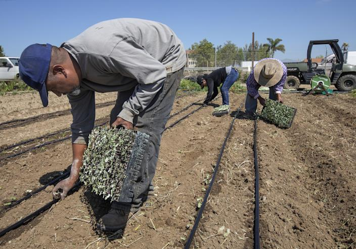 """Cruz Carranza, left; his sister-in-law Elvia Ramirez; and his father, Javier Carranza, plant sunflowers at McGrath Family Farm in Camarillo. <span class=""""copyright"""">(Mel Melcon / Los Angeles Times)</span>"""