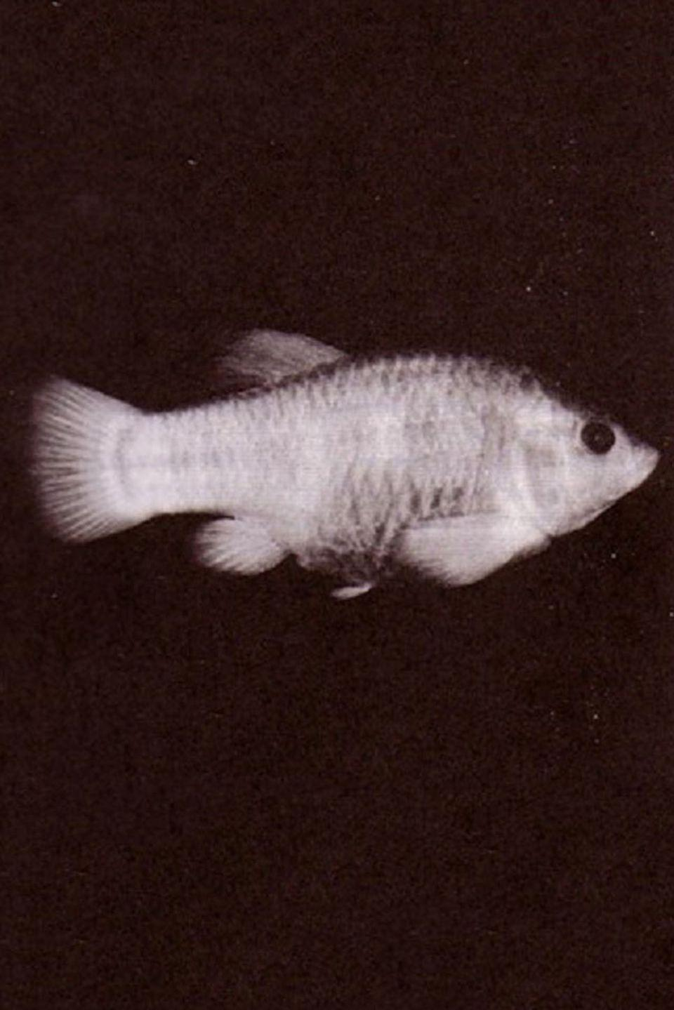 <p>The Tecopa pupfish, a native of the hot springs of the Mojave Desert, has the distinction of being the first animal declared extinct under the provisions of the Endangered Species Act of 1973. The pupfish's decline was precipitated when its natural habitat was encroached upon by developers.</p><p><strong>Cause of Extinction:</strong> the destruction of their natural habitat.</p>