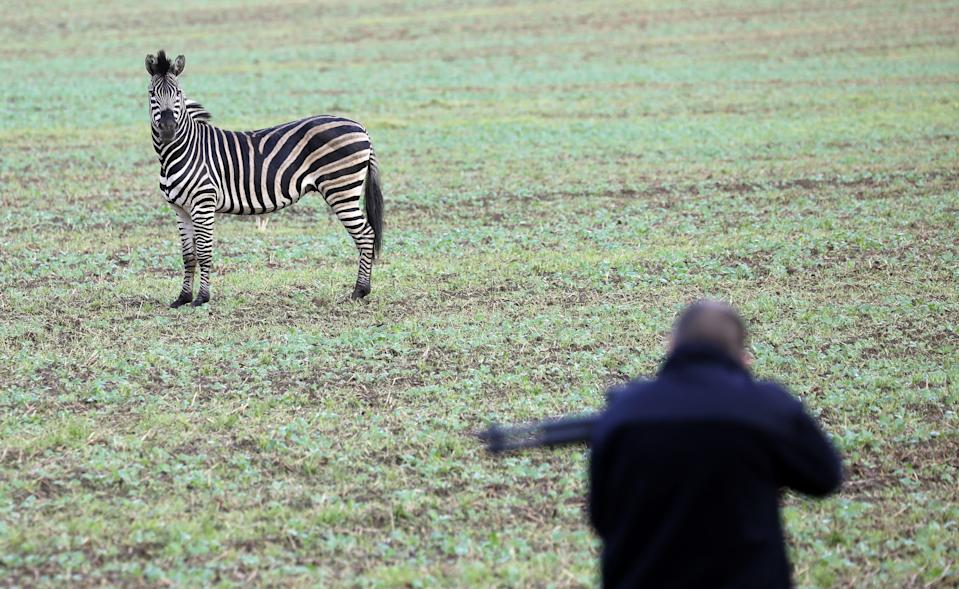 A zebra stands on a meadow as a man with a tranquilizer gun tries to approach it on October 2, 2019 near the village of Thelkow, north-eastern Germany, after the animal had broken out of a circus with a fellow animal nearby, and had caused an accident on the A20 motorway in the area. - The other zebra had already been captured. (Photo by Bernd Wüstneck / dpa / AFP) / Germany OUT (Photo by BERND WUSTNECK/dpa/AFP via Getty Images)