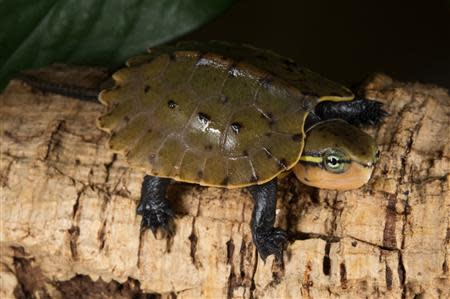 A Chinese big-headed turtle is seen after hatching at the Wildlife Conservation Society's Prospect Park Zoo in New York, in this undated handout photo courtesy of Julie Larsen Maher of the WCS. REUTERS/Julie Larsen Maher of the WCS/Handout