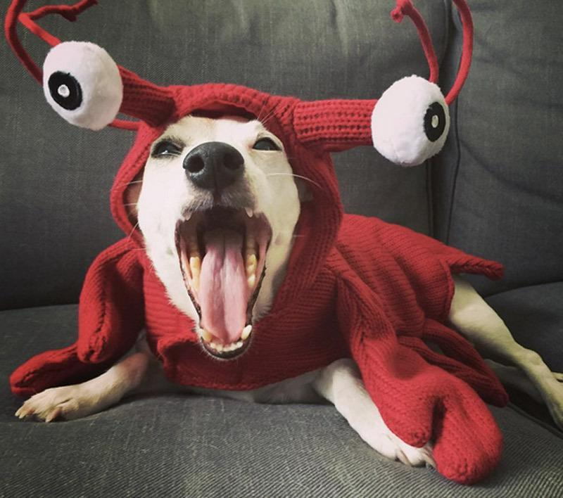 "<p>Why not dress your pet up as your favorite seafood. For the DIY lover, you could easily knit this costume as a hoodie.<b> If you haven't mastered the art of knitting, <a href=""http://yahooshopping.pgpartner.com/plr.php?id=19826"" rel=""nofollow noopener"" target=""_blank"" data-ylk=""slk:try this!"" class=""link rapid-noclick-resp"">try this!</a></b> <i>Photo: Instagram/@sweetestaimee</i></p>"