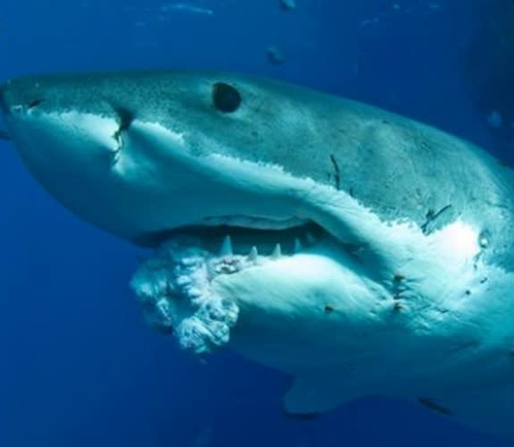 Sharks Do Get Cancer: Tumor Found in Great White