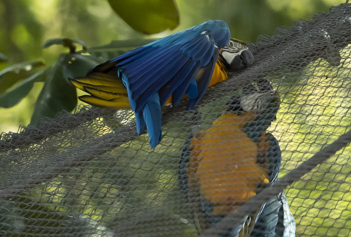 A blue-and-yellow macaw that zookeepers have named Juliet, left, grooms with a captive macaw at BioParque, in Rio de Janeiro, Brazil, Wednesday, May 5, 2021. Every morning for the last two decades, Juliet swoops onto the enclosure and through its fence, engages in grooming behavior that looks like conjugal canoodling. (AP Photo/Bruna Prado)
