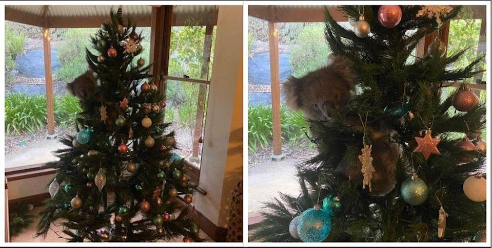 Daphne the koala had herself a merry little Christmas on the McCormicks' fake tree after wandering into their house while they were out. — Pictures by Amanda McCormick