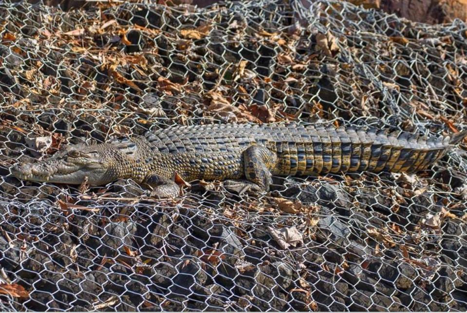 A large crocodile suns itself on steel wire and rocks.