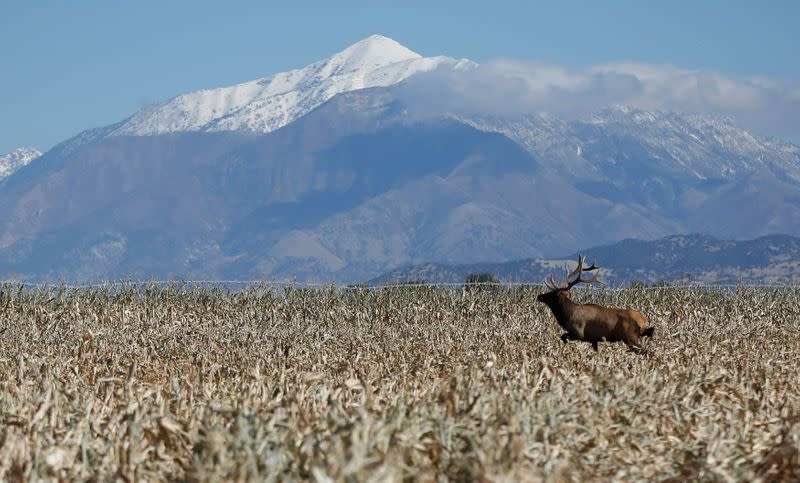 FILE PHOTO: A bull elk makes its way through the field as corn is harvested at the Kenison Farms in Levan