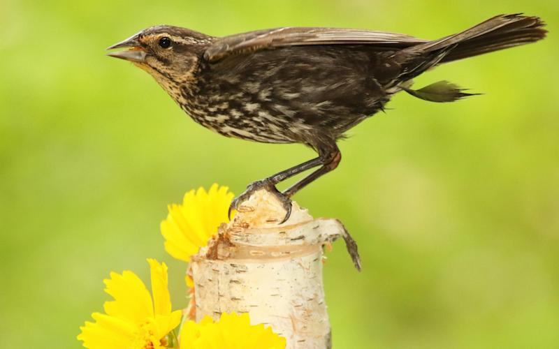 The red-winged blackbirds have never been seen in the UK before  - www.alamy.com