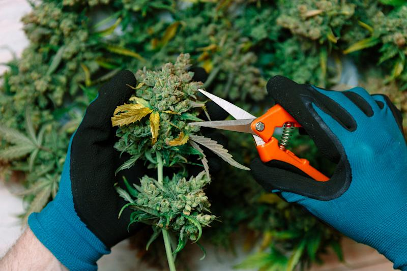 A person with gloved hands using scissors to trim a cannabis flower.