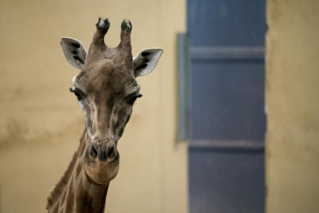 In this Wednesday, May 15, 2019 photo, a giraffe looks at the camera from inside its enclosure at the zoo in Barcelona, Spain. Animal rights activists in Barcelona are celebrating a victory after the Spanish city ordered its municipal zoo to restrict the breeding of captive animals unless their young are destined to be reintroduced into the wild. (AP Photo/Renata Brito)