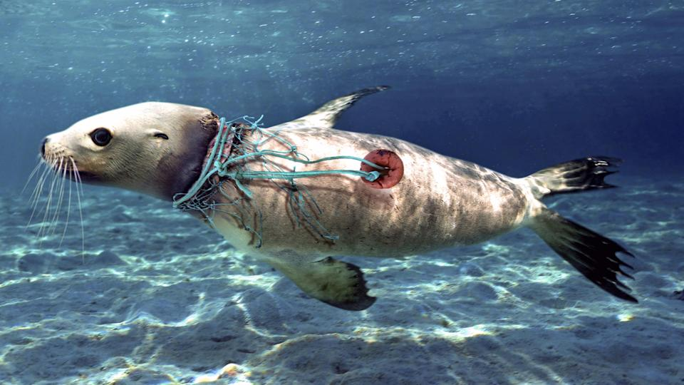 <p>A sea lion swims, wounded by nylon string and pieces of fishing net wrapped around his neck. (Photo: Paulo Di Oliviera/ARDEA/Caters News) </p>