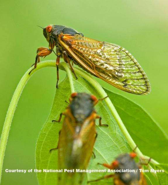 Don't See Cicadas? Don't Be Surprised