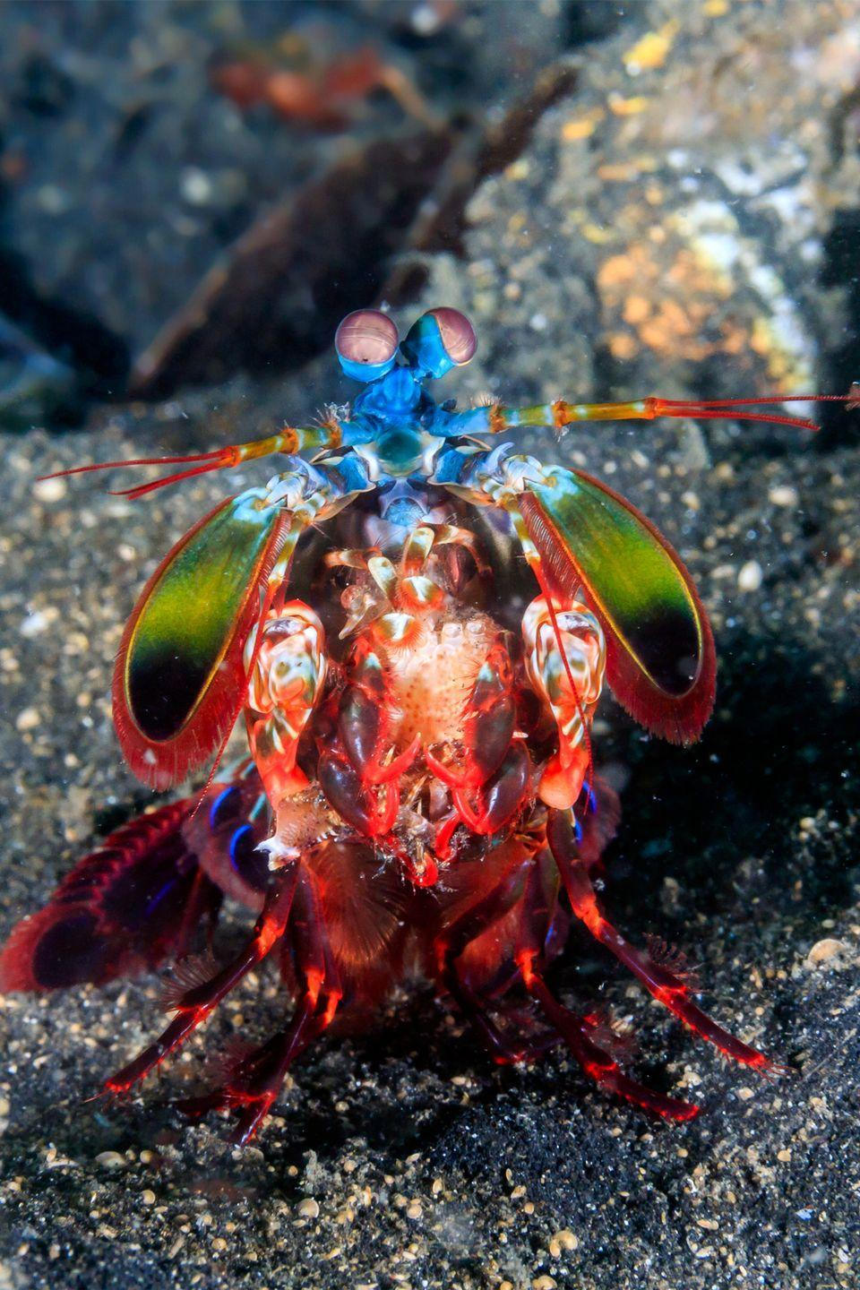 <p>The peacock mantis shrimp, a relative of crabs and lobsters, throws a punch at 50 mph, which is faster than a .22 caliber bullet. It uses its punch to impale soft-bodied prey like fish. And since it lives in overcrowded and competitive rock crevices, researchers believe it developed this strength to out-maneuver other hunters.</p>